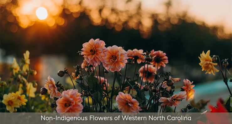 NON-INDIGENOUS-FLOWERS-OF-WESTERN-NORTH-CAROLINA