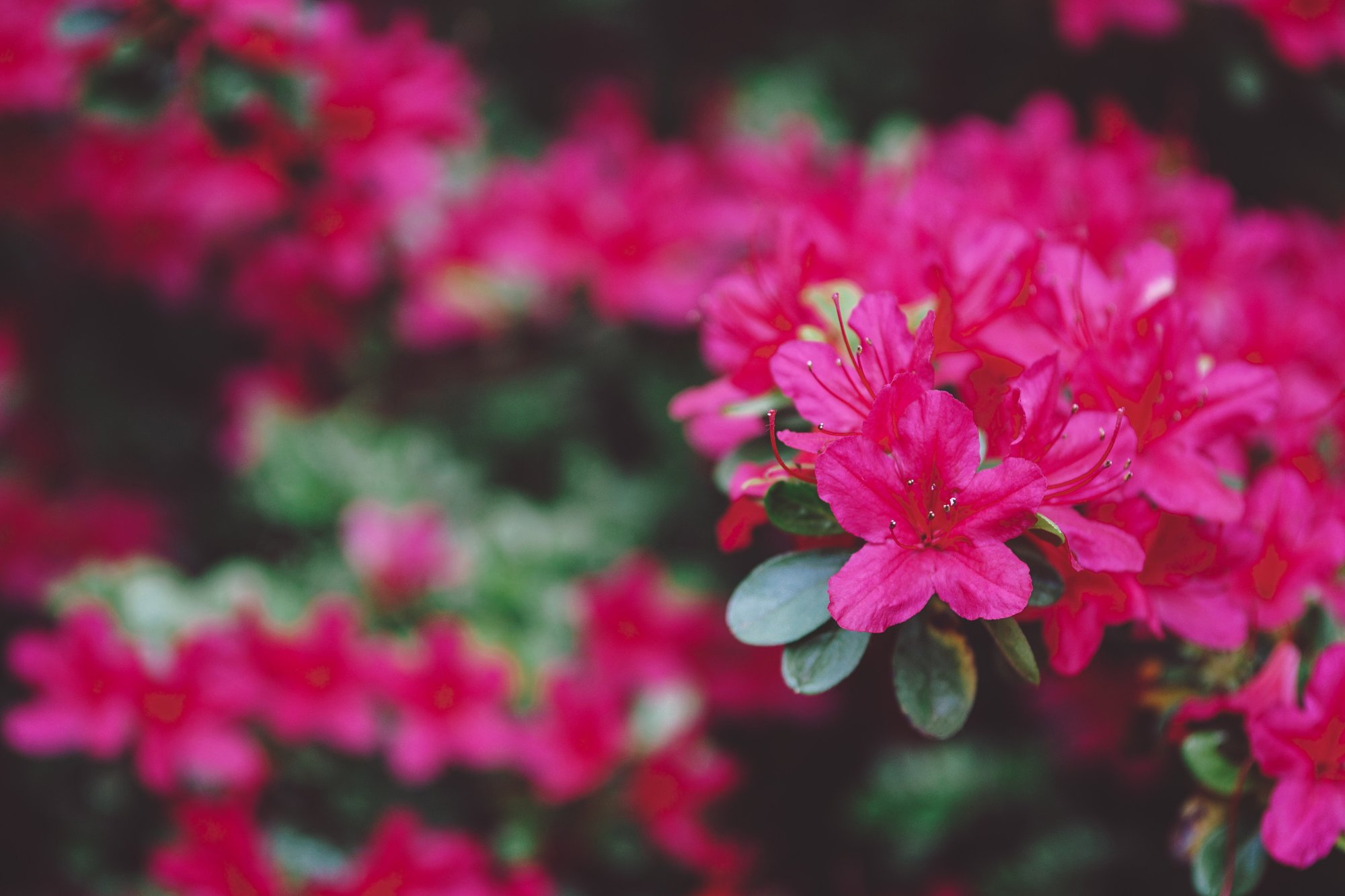 Native-Flowers-To-Western-North-Carolina-Rhododendron